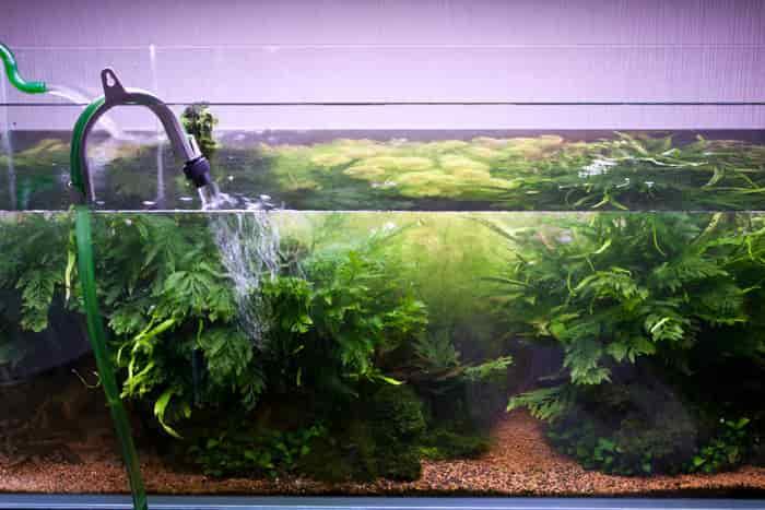 thay nước cho bể thủy sinh mới setup