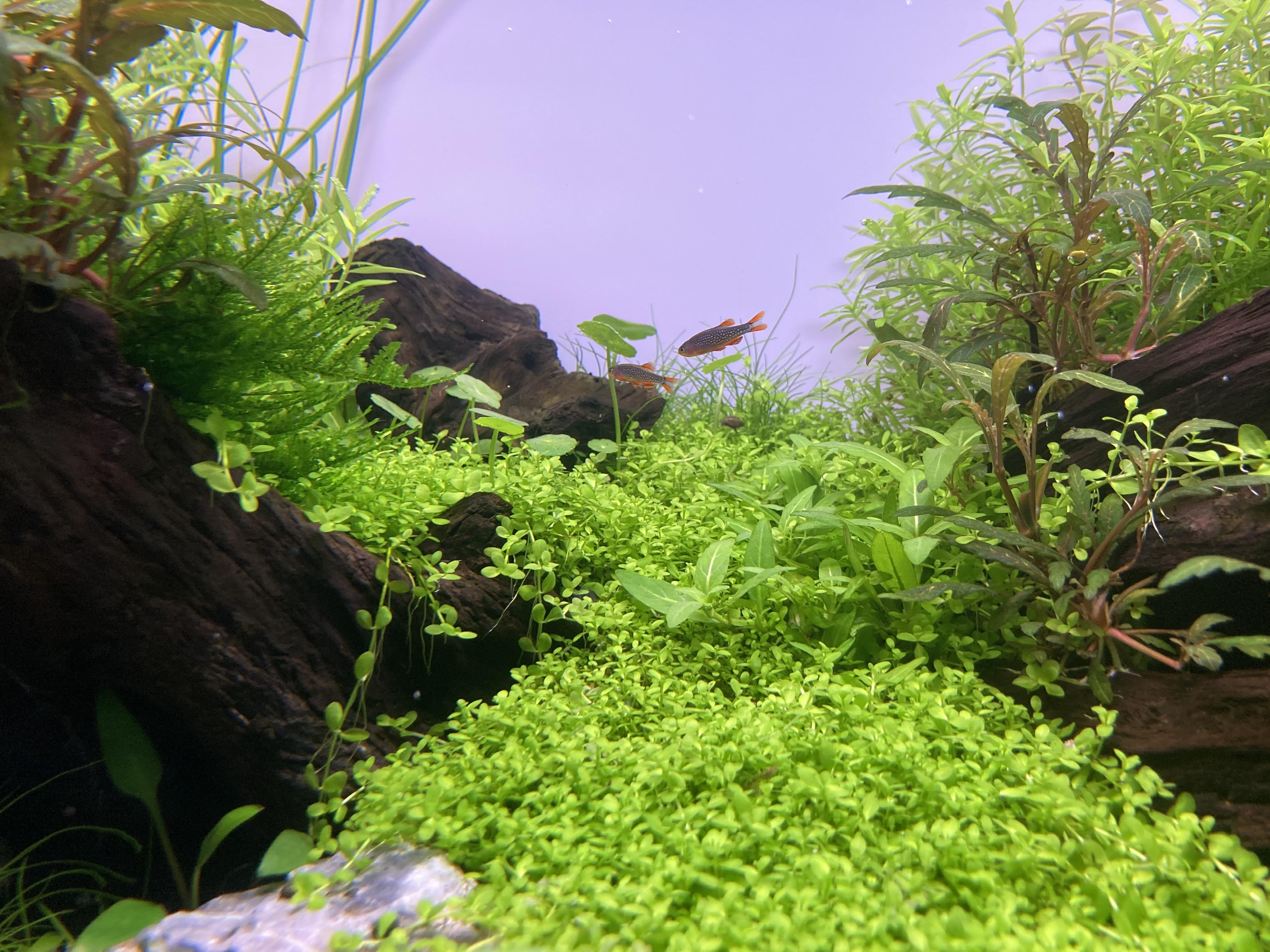cá galaxy trong bể thủy sinh 60cm